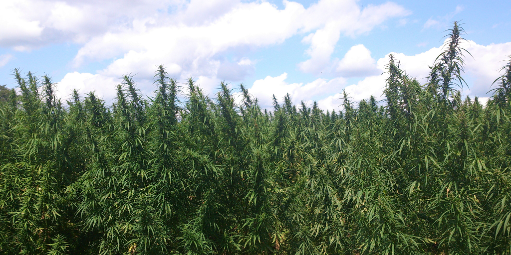 Industrial Hemp from the Department of Agriculture in Kentucky
